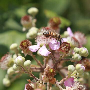 Abeille qui butinent des fleurs de ronce