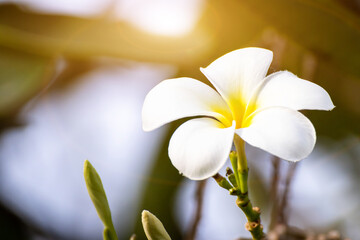 Purity of white frangipani blossom of tropical tree flower, plumeria flower blooming on tree, spa flower
