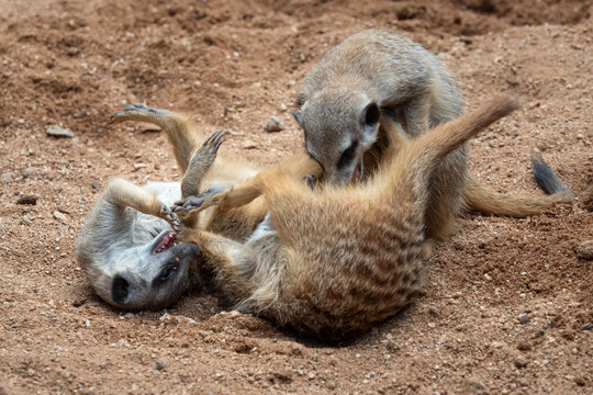 The meerkats fight for territory. Meerkats or suricates play fighting in the sand