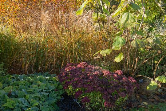 Miscanthus sinensis and sedum herbstfeude, autumn joy setting the garden borders alight