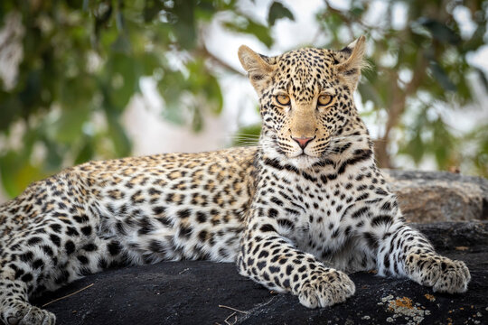 Horizontal portrait of a leopard sitting on a rock looking at camera in Kruger Park in South Africa