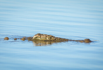 Nile crocodile swimming in water in Kruger Park in South Africa
