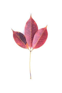 Dry 3 purple leaves have the same stem It fell from the tree. Isolated white background
