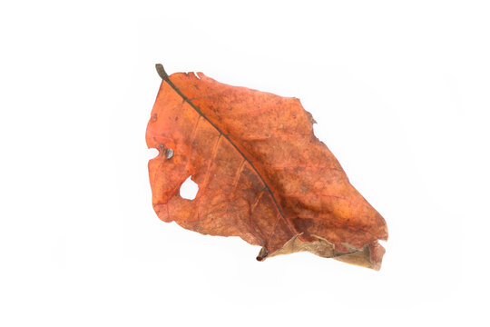 Dry orange leaves fall from the tree. White isolated background.