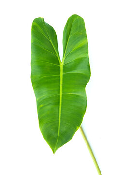 Large leaves for garden decoration. Isolated white background.