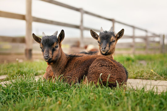 Two brown baby goat kids sitting in low grass at farm
