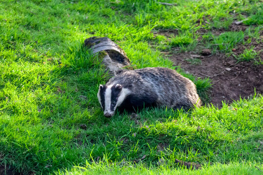 Badger a black and white wild animal feeding in a woodland wildlife forest in the UK, stock photo image
