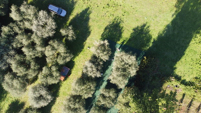 View from the Drone: olive trees