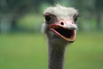 ostrich bird close up view
