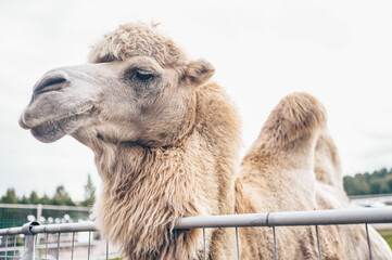 Close up funny Bactrian camel in Karelia zoo. Hairy camel in a pen with long light brown fur coat