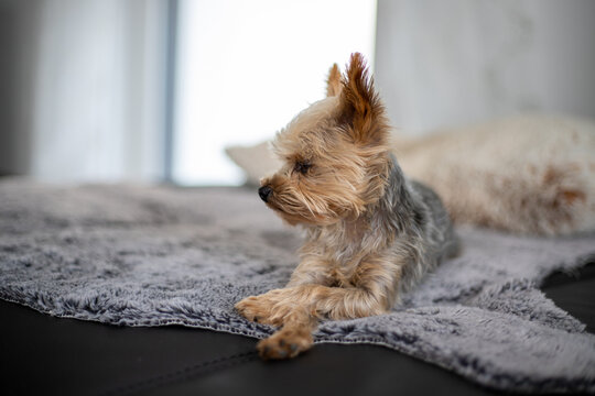 Small Yorkshire Terrier lies on a grey artificial sheepskin on black sofa and watch in camera, blurred background