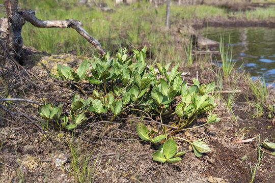 The Menyanthes trifoliata grows in a peat bog near a closed reservoir