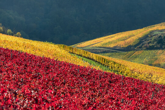 Red and yellow colored vineyards on slopes in the wine-growing area in the Ahr valley near Mayschoss in autumn, Eifel, Rhineland-Palatinate, Germany