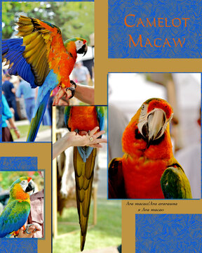 Camelot macaw montage showing tail, wings, profile and face, with scientific name.