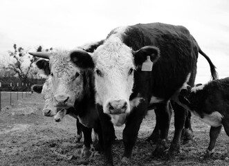 Wall Mural - Curious Hereford cattle on farm shows cows close up in black and white.