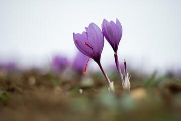 Saffron crocus flowers on ground, Delicate purple plant field