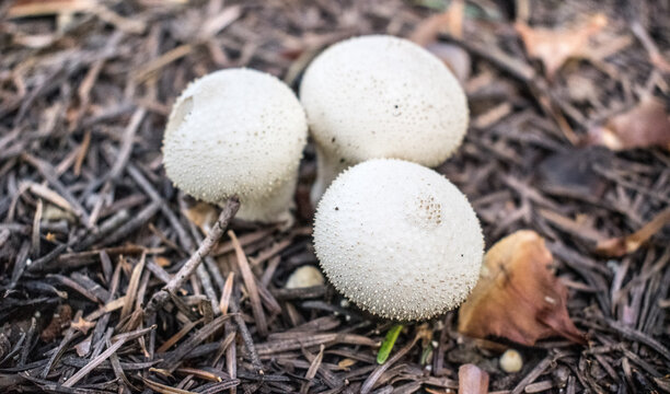 White mushroom in forest. Lycoperdon, puffball mushrooms also known as Devil's Snuff-box