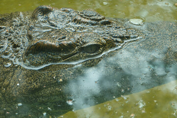 Closeup shot of a crocodile in the water