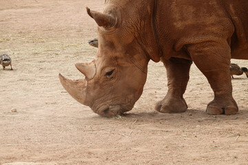Closeup shot of a rhino