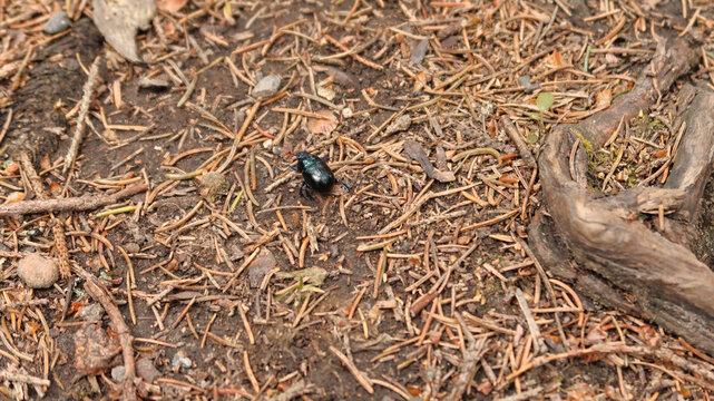 Käfer im Harz auf Blatt und Boden