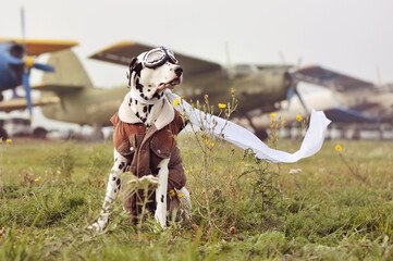 Sitting dalmatian dog as a pilot against planes background