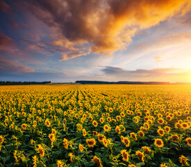Wall Mural - Magical scene of vivid yellow sunflowers from above in the evening.