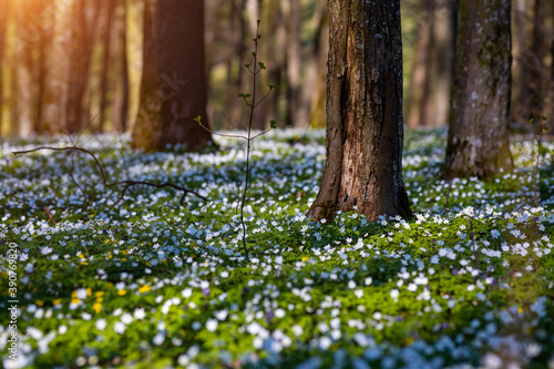 Wall mural Fantastic forest with fresh flowers in the sunlight. Early spring time is the moment for wood anemone.