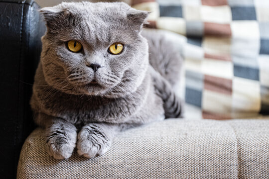 Scottish Fold Cat Lying Down on the Armchair Looking at the Camera