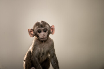 Fine art portrait of Rhesus macaque or Macaca mulatta monkey baby at keoladeo ghana national park bharatpur rajasthan india