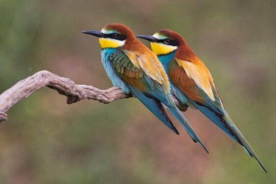 Bienenfresser Paar