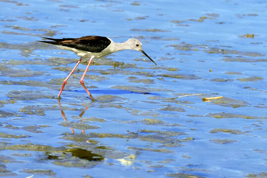 Black-winged Stilt (Himantopus himantopus) in the Camargue is a natural region located south of Arles, France, between the Mediterranean Sea and the two arms of the Rhône delta