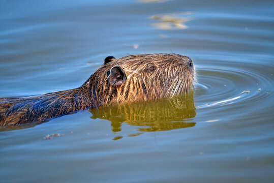Closeup of coypu (Myocastor coypus) swimming in the marshes of Camargue in France