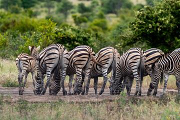 Fototapeta Zèbre de Burchell,.Equus quagga burchelli, Parc national Kruger, Afrique du Sud