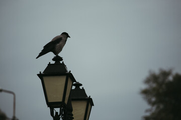 crow on a street lamp on a foggy morning. High quality photo Fotomurales