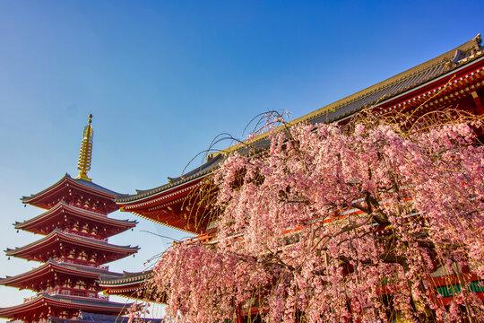 Low angle shot of a cherry blossom tree in Senso-ji Taito, Japan