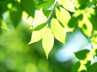 Fototapete - 新緑のケヤキの葉