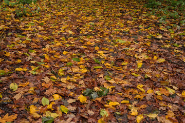 Texture of autumn colorful leaves covering the ground