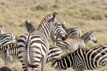 Closeup shot of zebras in a field