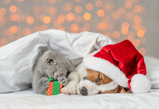 Sleepy Jack russell terrier puppy wearing santa's hat and playful kitten lie together under white warm blanket on festive background