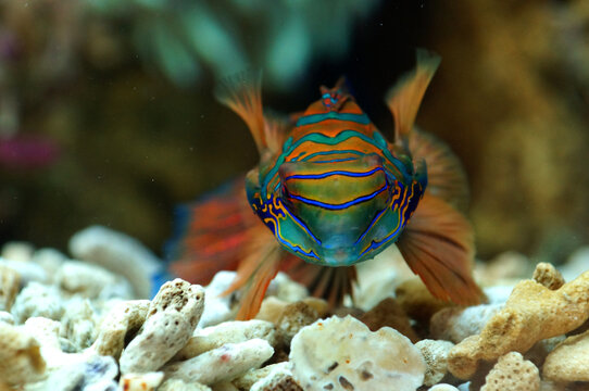 The Mandarinfish / The Mandarin Dragonet (Synchiropus splendidus)