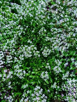 Vertical closeup shot of blooming Lobularia flowers in a garden