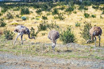 Greater rhea - nandu - birds in grassland pampa near Torres del Paine