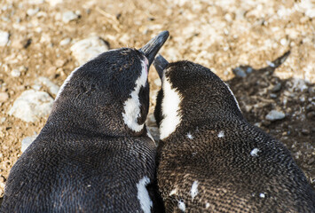 Two adult Magellanic penguins from Magdalena island in Chile