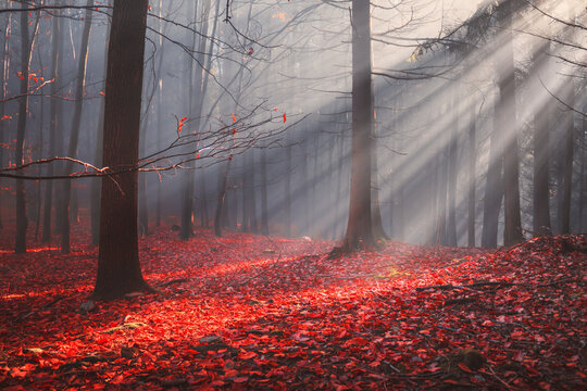 Autumn forest with colorful leaves and sun rays in misty fog