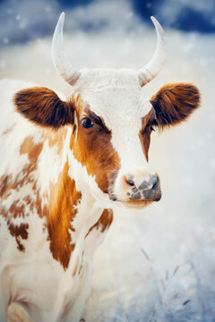 Portrait of a cow, white with red spots