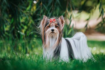Fototapeta Biewer terrier puppy in beautiful autumn.