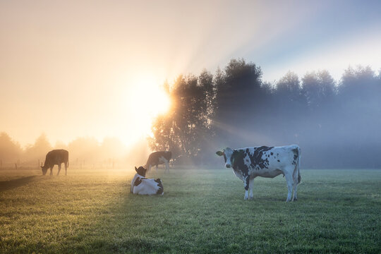 cows on misty pasture in summer