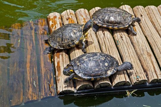 D'Orbigny's slider, water turtle (Trachemys dorbigni brasiliensis)