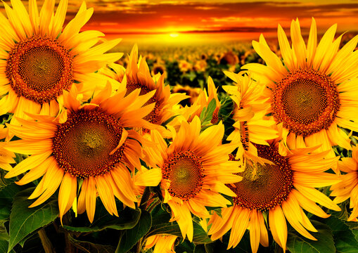 sunflowers on a field and sunset