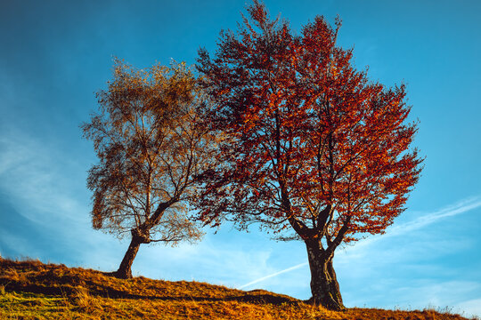 two trees in autumn clothes